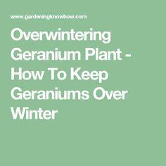 Ber ideen zu geranien pflege auf pinterest geranien winterfest machen und rote geranien - Overwintering geraniums tips ...