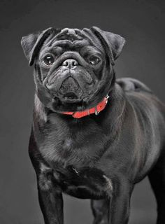 Beautiful black Pug... Click on this image for more pinable #dogs #puppies and #Pugs