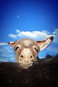 For the Love of Donkeys ~ Happy Thursday from this pensive Donkey  What a beautiful photo! ~ Ariane  https://www.flickr.com/photos/7msnranch/5869528768/