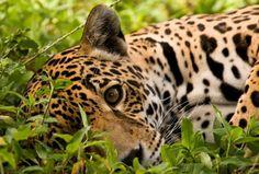 Rupununi endangered species management..jaguars.