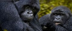 Uganda Gorilla Trekking Safaris-Customised private & Group Gorilla Safaris in Uganda-Africa, Gorilla Tours in Uganda, Gorilla Trekking in Uganda Safari Tour