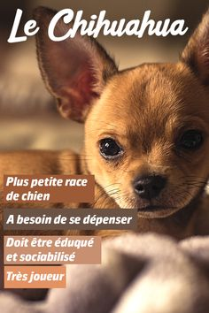 Hamsters, Le Chihuahua, Expressions, Attention, Chihuahuas, Comme, French Bulldog, Adoption, Cute Animals