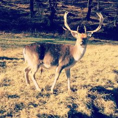 Cervo d'inverno #cervo #montegeneroso #deer #wildlife #switzerland