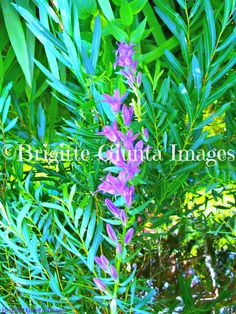"2015 Color: Purple Bells  Order #20150716026 Wasaga Beach, Ontario. Available in  5""x7"" CAD $20.00 8""x10"" CAD $35.00 11""x14"" CAD $45.00 16""x20"" CAD $75.00 24""x36"" CAD $95.00 FREE SHIPPING Payment by https://www.paypal.me/BGiunta or email transfer brigittegiuntaimages@gmail.com email me or pm me to order. I can also send you an invoice from my paypal which can be paid by credit card. Check out this magazine online. It features some of my photos Pages 24-25, 92-93, 232-233, 238-239 and so on…"