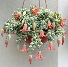 Hanging Succulents, Hanging Flowers, Cacti And Succulents, Hanging Plants, Indoor Plants, Flowering Succulents, Succulent Gardening, Garden Plants, Container Gardening