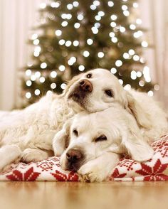 """Acquire fantastic ideas on """"retriever puppies"""". They are actually available for you on our internet site. Animals And Pets, Baby Animals, Funny Animals, Cute Animals, Cute Puppies, Cute Dogs, Dogs And Puppies, Doggies, Corgi Puppies"""