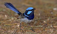 The superb fairy-wren is a regular visitor to back yards in New South Wales, Queensland and Tasmania. Photograph: Chris Tzaros/BirdLife Australia