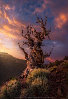 The Aged (bristlecone pine, California) by Greg Boratyn - 500px