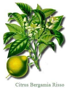 Bergamot - Citrus Bergamia, reduces LDL, Tryglicerides, Cholesterol and Blood Glucose