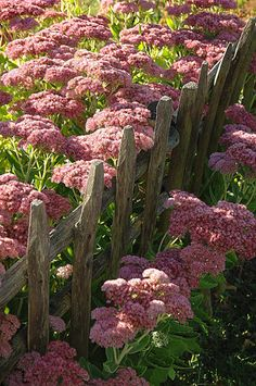 Sedum spectibilis 'Autumn Joy'..... notice the fab old weathered wooden picket fence too!!!