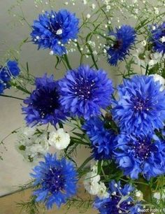 Estonia's national flower - Cornflower--Just love this flower