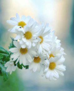 Sweet Angel — lijanaa: with ℒℴѵℯ Happy Flowers, Flowers Nature, Exotic Flowers, Real Flowers, Amazing Flowers, Beautiful Flowers, Daisy Wallpaper, Daisy Love, Beautiful Flower Arrangements