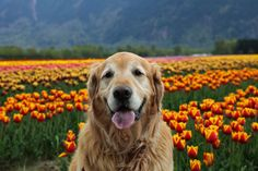 Dexter at the Tulip Festival!
