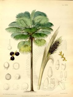 v. 2 - Flora vitiensis: A Description of the Plants of the Fiji Islands, by B Seemann, illustrations by Walter Fitch, 1865 - Biodiversity Heritage Library