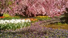 Cherry Blossoms and Tulips