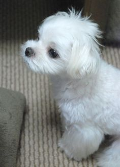 Maltese - So Cute I Just Woke Up Look