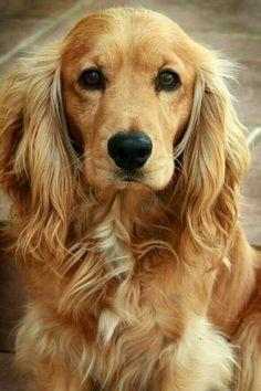 A list of the cutest golden cocker spaniel pictures. Are you in the mood to see some adorable photos of cocker spaniels? This is a list of some of the cutest golden cocker spaniel photos. Baby Dogs, Pet Dogs, Dog Cat, Beautiful Dogs, Animals Beautiful, Simply Beautiful, Cute Puppies, Dogs And Puppies, Cockerspaniel