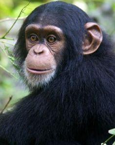 Imagen de http://www.fotosyfondos.com/wp-content/uploads/2012/01/chim_staring_300-239x300.jpg.