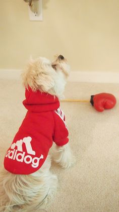 Athletic Sweater for dogs. White Morkie Milo in a red sweater.