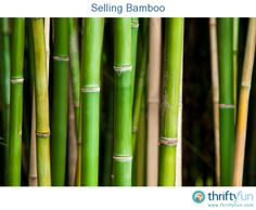 This is a guide about selling bamboo. Bamboo is an evergreen tropical or temperate grass that grows easily and spreads quickly making it a good choice to grow as a money making enterprise. There are many products made from bamboo.