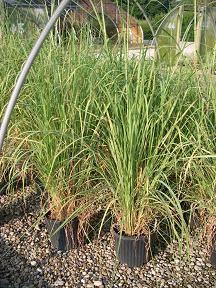 Saccharum ravennae. Ravenna Grass.