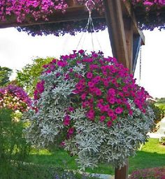 Petunias with dusty miller, such a stunning dispaly..love it!!