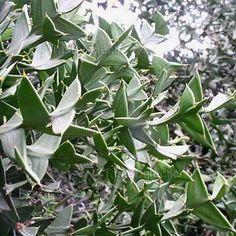 Colletia+paradoxa+2+seeds+GEOMETRIC+SUCCULENT+V+RARE+Unusual+LEAF-LESS+ANCHOR+PLANT