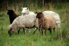 Beautiful shades of sheep....