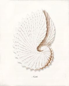 Antique Sea Shell Art Print - 8x10 - Nautilus Shell A