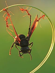 """A wasp looks like it is doing a daring trapeze act while being dangled from a blade of grass by four red ants. The insects lifted the wasp by his wings as they carried him back to their nest. Photographer Uda Dennie captured the team work outside his home in Batam Island, Indonesia. He said: """"I love taking close-up photos of insects because it reveals things you rarely see. I went outside to look for insects and found these ants working together to carry the dead wasp back to their nest."""""""