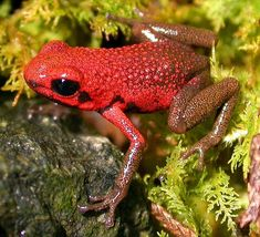 The Andean Poison Frog is a species of frog in the Dendrobatidae family. It is endemic to Colombia. Its natural habitat is subtropical or tropical moist montane forests. It is threatened by habitat loss. Wikipedia Scientific name: Ranitomeya opisthomelas Rank: Species Higher classification: Ranitomeya
