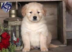 Tebo – Golden Retriever Puppies for Sale in PA   Keystone Puppies