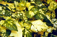 Find Help Information On Hedera Helix Midas Touch V Ivy From The Rhs