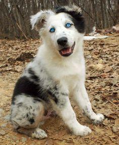 Phantom the Australian Shepherd--Ole Blue Eyes!