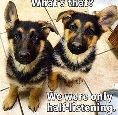 Wicked Training Your German Shepherd Dog Ideas. Mind Blowing Training Your German Shepherd Dog Ideas. Funny Animal Memes, Animal Quotes, Cute Funny Animals, Dog Memes, Dog Quotes, Funny Animal Pictures, Dog Pictures, Funny Dogs, Funny Memes