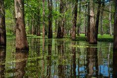 Louisiana--love swamps