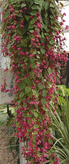 Rhodochiton atrosanguineum (AGM) Purple Bell Vine is a deciduous perennial climber with heart-shaped leaves and twining leaf stalks. It bears pendulous tubular deep maroon flowers with bowl-shaped rose-red calyces in Summer and Autumn. It can make a height of 1.5/2.5m but only 1m in spread making it a good candidate for a pergola as shown in this picture. It likes a position in full sun.