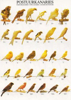 Learn your Canary types with this full color bred identification poster. This poster will make it easy to identify each different type of canary species. Little Birds, Love Birds, Beautiful Birds, Serin, Nature Animals, Animals And Pets, Canary Birds, Bird Poster, Fantasy Places