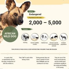 Endangered Animals In Africa, Endangered Species, Animals Information, Information Poster, Zoo Signage, Elephant Habitat, African Wild Dog, Animal Facts, Wild Dogs