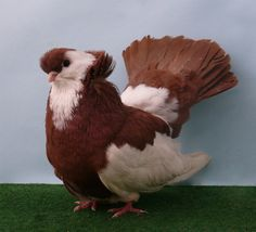 Koros Tumbler pigeon by purzli on deviantART Le Pigeon, Pigeon Bird, Pigeon Pictures, Bird Pictures, Beautiful Chickens, Beautiful Birds, Tumbler Pigeons, Racing Pigeon Lofts, Pigeon Breeds