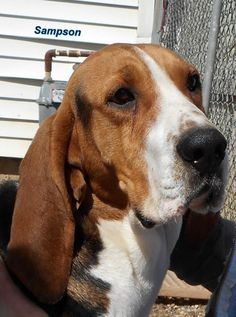 Sampson is a 2-1/2 year old #TreeingWalkerCoonhound that can't wait to find his new best friend in life. This sweet #dog is looking for a place to finally call his own and a companion to spend lots of time with. http://www.doggielife.com/A2KZOG