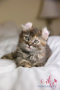 The American Curl Cat Kittens Cutest, Cats And Kittens, Cute Cats, Pretty Cats, Beautiful Cats, American Curl Kittens, Bobtail Cat, Fancy Cats, Here Kitty Kitty