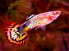 amazing freshwater aquarium fish