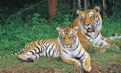 Number of tigers, including sub-adults and cubs, have increased from 18 to 24