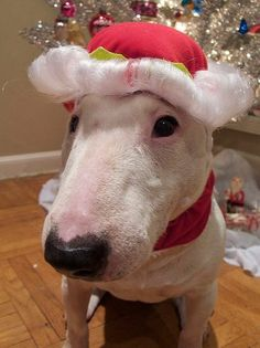 Christmas bully - We really got one for Christmas this year.  Adopted sweet Holly, 6 years old.  Best present ever!