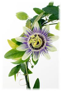 Common Names  Passion Flower ,  Botanical Name  Passiflora incarnata  Family  PASSIFLORACEAE Passion Flower Family    Common Uses:Addiction * Alcoholism * Anxiety * Candida * Hypertension * Neuralgia * Sleep * Smoking *  Properties: Analgesic* Purgative* Sedative*