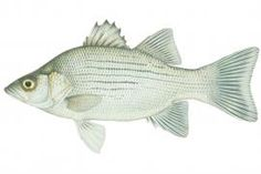 Fish ID Temperate Bass Nebraska Game and ParksNebraska Striper Fish, Information About Fish, Gray Streaks, Yellow Fish, Live Fish, Bass, Nebraska Game, Fishing Boats, Conservation