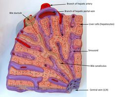In this image, you will find Liver sectional view in it. Liver Anatomy, Human Anatomy, Digestive System Anatomy, Anatomy Images, System Model, Anatomy And Physiology, How To Become, Medical, Radiology