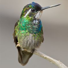 Turquoise Costa Rica Hummingbirds - Bing Images