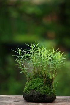 Kusamono green moss ball bonsai                                                                                                                                                     Mais